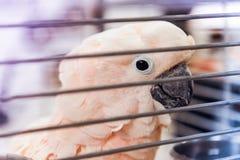 Pappagallo rosa della cacatua delle Molucche in una gabbia Fotografie Stock
