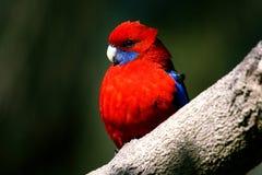 Pappagallo rosso Fotografia Stock