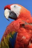 Pappagallo rosso Fotografie Stock Libere da Diritti