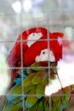 Pappagallo rosso Fotografia Stock Libera da Diritti