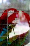 Pappagallo rosso Fotografie Stock