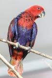pappagallo Rosso-blu Fotografie Stock