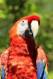 Pappagallo rosso dell'ara Fotografia Stock
