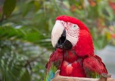 Pappagallo rosso dell'ara fotografie stock libere da diritti