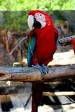 Pappagallo rosso dell'ara Fotografie Stock