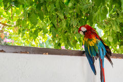 Pappagallo rosso dell'ara di verde blu Fotografie Stock
