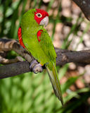 Pappagallo rosso e verde Immagini Stock