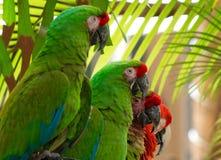 pappagallo Rosso-incoronato di Amazon, pappagallo di Amazon Fotografie Stock Libere da Diritti