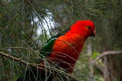 Pappagallo rosso in un albero Fotografia Stock
