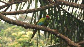 Pappagallo selvaggio, Costa Rica Fotografia Stock Libera da Diritti