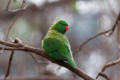 Pappagallo squamoso-breasted del lorikeet che si appollaia sul primo piano del ramo di albero Fotografia Stock