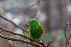 Pappagallo squamoso-breasted del lorikeet che si appollaia sul primo piano del ramo di albero Immagini Stock