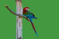 Pappagallo tropicale Fotografia Stock