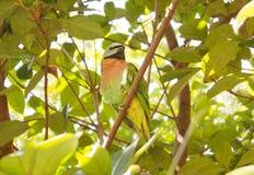 Pappagallo tropicale negli alberi immagini stock