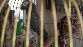 Pappagallo in una gabbia dorata 4k, rallentatore, primo piano Il pappagallo sta parlando stock footage