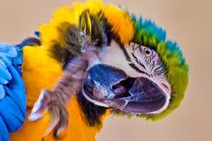 pappagallo variopinto fotografia stock