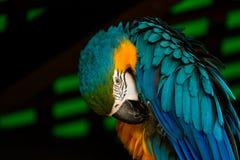 Pappagallo variopinto appollaiato allo zoo Fotografia Stock Libera da Diritti
