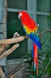 Pappagallo variopinto del macaw Immagini Stock Libere da Diritti