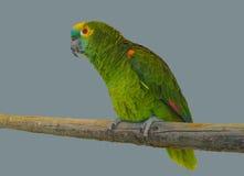 Pappagallo verde Immagini Stock