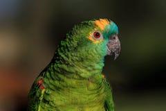 Pappagallo verde Immagini Stock Libere da Diritti
