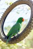 Pappagallo verde Immagine Stock Libera da Diritti