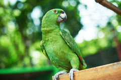 Pappagallo verde che si siede sul ramo Fotografia Stock