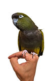 Pappagallo verde che si siede sulla mano dell'uomo Fotografia Stock