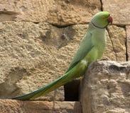 Pappagallo verde con il collo India dell'anello Fotografia Stock Libera da Diritti