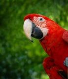 Pappagallo verde del macaw dell'ala Immagine Stock