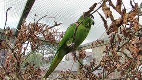 Pappagallo verde dell'ara in uccelliera che rimbalza sul ramo closeup stock footage