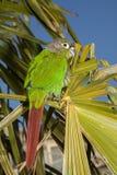 Pappagallo verde della guancia Fotografia Stock