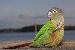 Pappagallo verde della guancia Fotografie Stock
