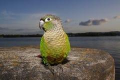 Pappagallo verde della guancia Fotografia Stock Libera da Diritti