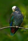 Pappagallo verde e grigio, Pionus dal collare bianco, pappagallo dalla testa bianca, senilis di Pionus, in Costa Rica Lave sull'a Fotografia Stock