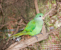 Pappagallo verde: Fauna australiana Fotografie Stock