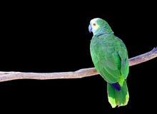 Pappagallo verde isolato sul ramo Fotografia Stock