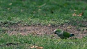 Pappagallo verde mentre mangia fotografia stock