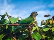 Pappagallo verde sul grande albero fotografia stock libera da diritti