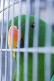 Pappagallo verde in una gabbia Fotografia Stock Libera da Diritti