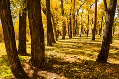 Pappel-Bäume im Herbst Stockfotografie