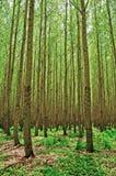 Pappel-Bäume nähern sich Boardman, Oregon Stockfoto