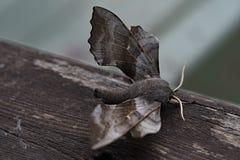 Pappel Hawk Moth tarnte Stockbild