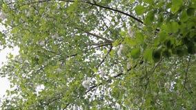 Pappel mögen unten Schnee Pappelbaum bedeckt durch weißen Flaum stock video footage