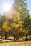 Pappel mit Gelb verlässt am Rand eines Kiefernwaldes stockfoto
