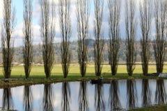 Pappelbäume Stockfotos