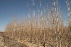 Pappelbäume im Winter mit blauem Himmel, Frischluft, Sonne, sonnig Stockfotos