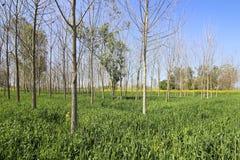 Pappelbäume und -weizen Lizenzfreie Stockfotografie