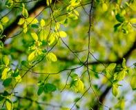 Pappelbaum beim Psring Stockfotos