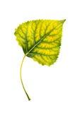Pappelblatt Stockfoto