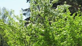 Pappelflaum im Park stock video